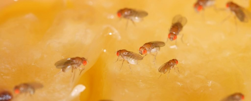 How to Eliminate Fruit Flies for Good