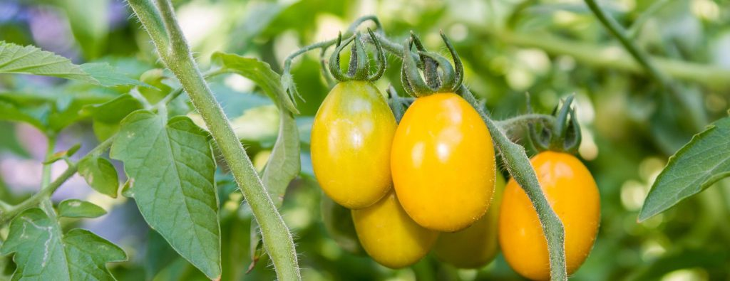 PJP Food History Series: The History of Tomatoes